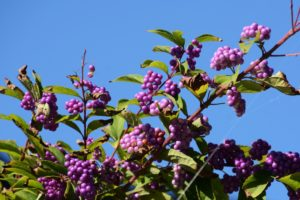 Beauty Berry Tree, What is Dual Diagnosis and How is it Treated, Foundations Wellness Center