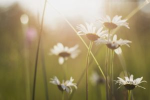 Daisies in a field, inpatient vs outpatient rehab, Foundations Wellness Center