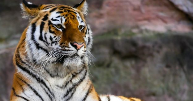Close up photo of a tiger, tiger king and meth addiction, Foundations Wellness Center