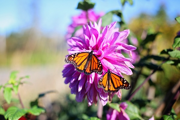 two golden butterflies on a pink flowering plant amid greenery with a blurred background, new study finds polysubstance users have poorer addiction treatment outcomes